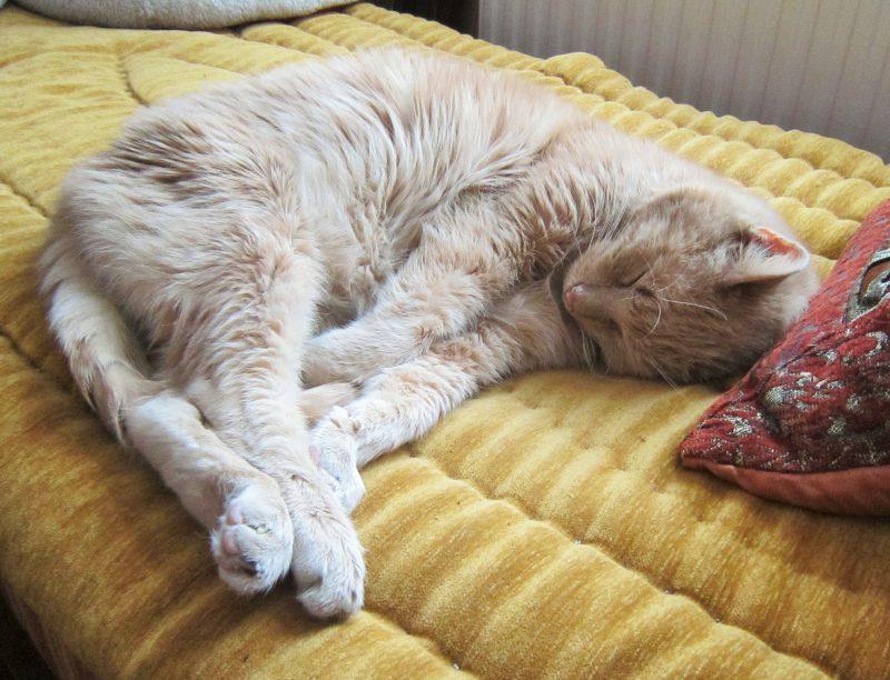 FiV-Kater Sinan aus dem Tierheim Lengerich
